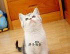 美短加白 美国短毛猫纯种幼猫活体家养宠物猫美短起司
