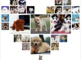 重庆合川出售纯种阿拉撕加犬雪橇宠物狗狗幼犬