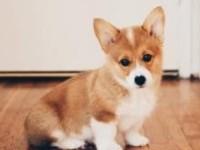 芙蓉柯基犬出售 芙蓉三个月纯正柯基幼犬价格 专业售后