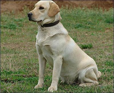 精品拉布拉多 拉布拉多幼犬 哪里有买拉布拉多的