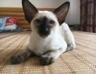 纯种暹罗猫多少钱一只