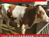 2018年较新肉牛犊价格 小牛犊今日价格大量出售送到家后付款
