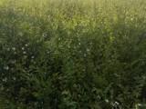 白蜡,国槐,香花槐,垂柳