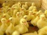 供应皖西鹅苗江苏鹅苗价格供应大品种鹅苗
