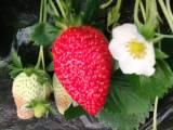 满城草莓采摘园 无激素 无农药 绿色健康