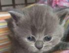 山西太原萌猫生活馆---精品小蓝猫多窝寻找靠谱家长