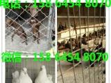 湖南精品元宝鸽贴吧公斤元宝鸽图片哪里有卖元宝鸽