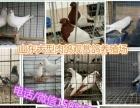 商丘肉鸽种鸽多少钱一对种鸽养殖场