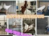 观赏鸽市场价格、观赏鸽种鸽批发出售