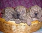 长期繁殖高品质纯沙皮狗 各类纯种名犬 包养活签协议