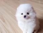 邢台哪里犬舍出售博美哈多利球体博美出售纯种博美幼犬
