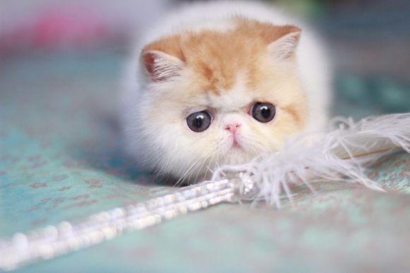 唐山哪里有加菲猫卖 自家繁殖 品相极佳 多只可挑