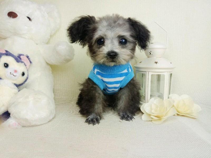 纯种泰迪犬是非常可爱 小泰迪幼犬很卷毛 很懂事的狗狗