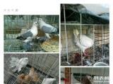 出售几只观赏鸽,金鱼,点子,两头乌,元宝,马头,淑