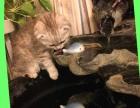 3个月大的折耳猫找新家--想找个有爱心的人养
