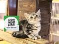 南阳哪里有虎斑猫出售 南阳虎斑猫价格 虎斑猫多少钱