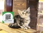 深圳哪里开猫舍卖虎斑猫 去哪里可以买得到纯种虎斑猫