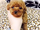 南京哪里有茶杯犬出售 南京茶杯泰迪多少钱 南京香槟色泰迪