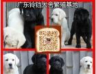 中山宠物狗出售 中山哪里有卖拉布拉多犬 中山拉布拉多价格多少