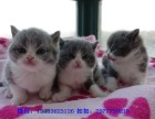 保定哪里有英短猫卖 专业繁殖 公母均有 包纯种包健康
