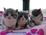 潮州哪里有英短猫卖 专业繁殖 公母均有 包纯种包健康