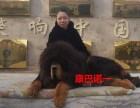 买2019年小藏獒到十年藏獒基地獒响中国原生藏獒繁育基地
