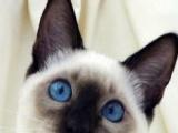 镇江本地自家繁殖,蔓蔓家の家暹罗猫,找长期饭票