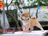 忠诚可靠的日系柴犬幼犬聪明可爱机敏独立 官方质保