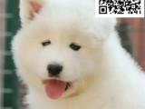 哪里出售萨摩耶犬 纯种萨摩耶多少钱