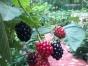 黑莓观光采摘,自助烧烤,度假