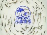幾厘米的錦鯉魚苗興盛漁場大量有售