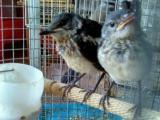 猪屎喳,今年的窝鸟,会自己吃料,80十元一只