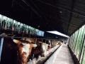 山西祁县肉牛厂今年育肥牛养殖