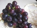 葡萄苗木基地直销两年生夏黑葡萄苗   早熟扦插葡萄苗种苗