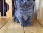 自家繁养,猫舍出售纯种蓝猫 蓝猫折耳公母都有 包纯种健康售后