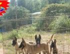 出售纯种高品质马犬,保健康纯种可上门签协议