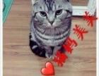 北京的自家美短猫咪找妈妈!