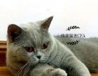 英短蓝猫,蓝白,加菲,美短对外借配