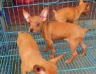 哪里有小鹿犬出售小鹿犬是什么品种 小鹿犬好养吗