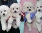 西安狗狗之家长期出售高品质 比熊 售后无忧