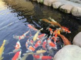 杭州市观赏鱼 锦鲤鱼销售