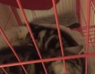 快两个月的纯种小虎斑猫,就剩下两只啦,不要错过哦!