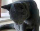 纯种蓝猫便宜出售