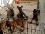 马犬幼崽低价处理 马犬价格