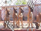 哪里有纯种大丹宠物狗狗卖 大丹犬舍繁殖 大丹狗场