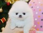 女神萌宠博美俊介繁育基地常年幼犬出售 实地挑选