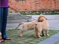 奉化哪有金毛犬卖 奉化金毛犬价格 奉化金毛犬多少钱