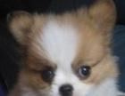 CKU认证,纯种蝴蝶犬出售,价格优惠