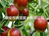 龙须枣树苗 龙须枣树苗价格 品种介绍