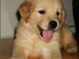 湘潭哪有金毛犬卖 湘潭金毛犬价格 湘潭金毛犬多少钱